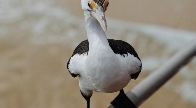 Uccello A Moreton Island (Australia)